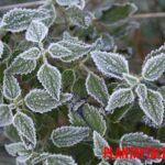 Prevención y como recuperar plantas heladas dañadas y amarillas