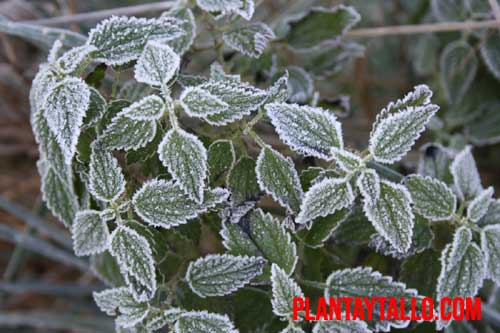 como recuperar plantas heladas
