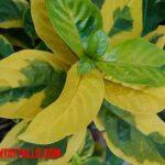 Porque las plantas se ponen amarillas sus hojas y como solucionarlo