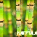 Cuales son los tipos de tallos de plantas que existen y sus conceptos