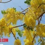 Árbol lluvia de oro: Datos, cuidados y propiedades
