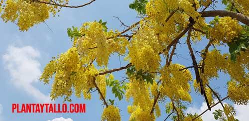 arbol lluvia de oro