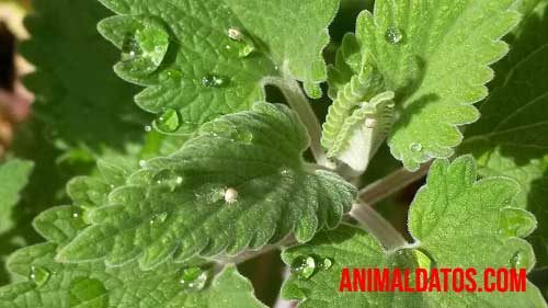 como cuidar una planta de hierbabuena