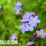 Flor No me Olvides: Características, cuidado y significado