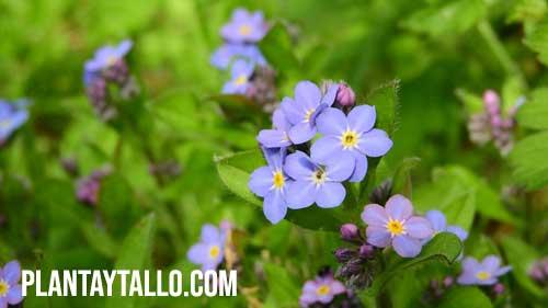 flor no me olvides
