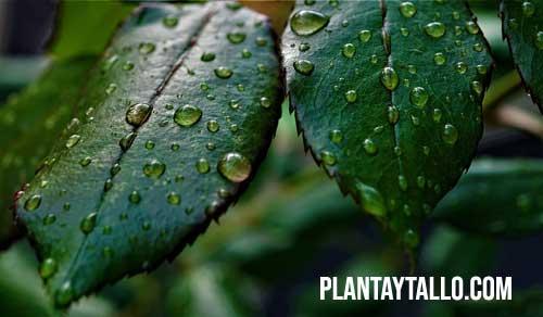 para que sirve la clorofila en las plantas