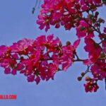 Nombres de árboles de flores moradas para jardín o patio