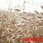 Cola de conejo o Lagurus ovatus: Características y usos de la planta