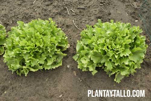 fotoperiodo en plantas