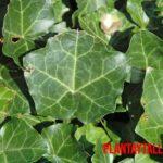 5 plantas trepadoras de crecimiento rápido y fáciles de cuidar