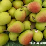 Que es la pera ercolina y cuáles son sus beneficios