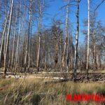 ¿Por qué hay árboles en Chernobyl a pesar de la radioactividad?