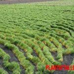 Como cuidar, sembrar y crecer una planta de lentejas en casa