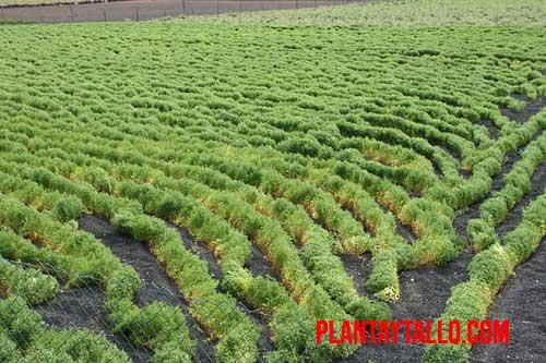 planta de lentejas