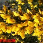 Planta tojo: características físicas, propiedades y para que sirve