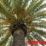 ¿Cómo puedo trasplantar una palmera de gran tamaño? ¿Lo puedo hacer yo?