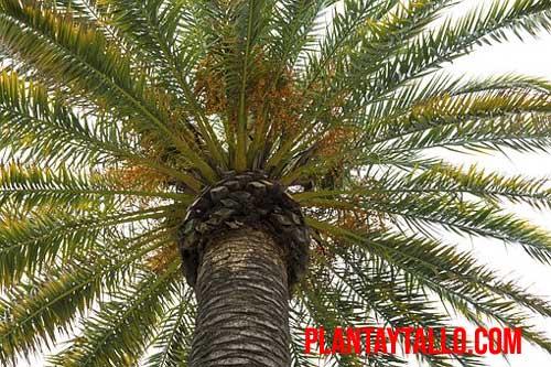 trasplantar palmera de gran tamaño