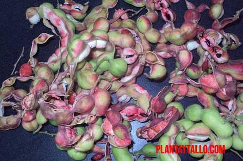 árbol de guamúchil