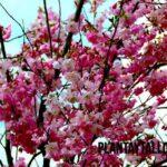 6 ejemplos de árboles con flores rosas y como se llaman