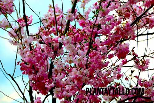 árboles con flores rosas