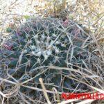 Biznaga de chilitos o Mammillaria magnimamma: características, usos y propiedades