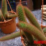 Datos y cuidados del cactus cola de rata o aporocactus flagelliformis