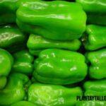 Trucos sobre como conservar pimientos verdes a corto y largo plazo