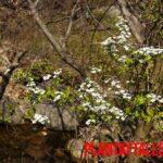 Planta corona de novia o spiraea prunifolia: características, reproducción y cuidados