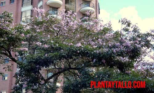 guayacan rosado