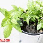 Cuidados de la planta de menta en maceta en casa
