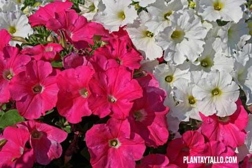 que son las plantas ornamentales