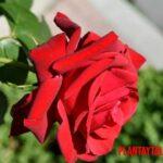 Las 5 flores mas bonitas del mundo (con foto incluida)