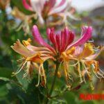La planta trepadora madreselva: características, propiedades y cuidados