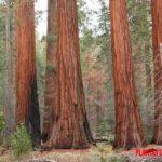 Los 5 árboles mas altos del mundo, con fotografía