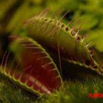 Curiosidades de las plantas carnívoras para niños y adultos, conoce sus mitos