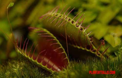 curiosidades de las plantas carnívoras