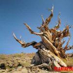 Los 4 árboles mas viejos del mundo. Son milenarios