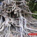 Los 5 árboles con las raíces más profundas del mundo