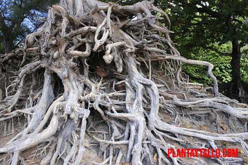 árboles con las raíces más profunda
