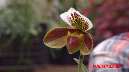 orquídeas de invierno