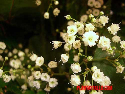 velo de novia planta