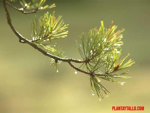 hoja de pino