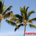 ¿De verdad son peligrosas las raíces de las palmeras? ¿Son débiles?