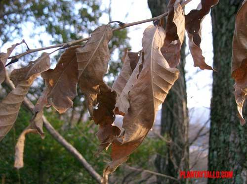 planta marcescente