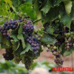 ¿Por qué mi planta de uva no da fruto? Lista de posibles motivos