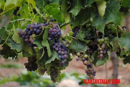 porque mi planta de uva no da fruto