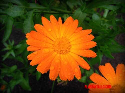 caléndula flor