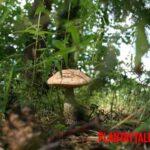 Que es el micelio de los hongos y para que sirve. ¿El internet se basó en ello?
