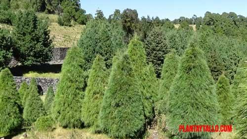 Plantas muy populares en la navidad