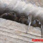 ¿La araña lobo es una plaga peligrosa para mis cosechas?
